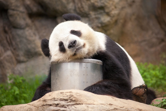お昼寝パンダ